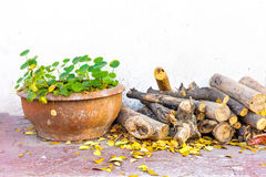 Asiatic Pennywort pot and log wood Royalty Free Stock Photo