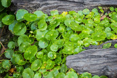 Asiatic pennywort. On timber in the garden Royalty Free Stock Photos