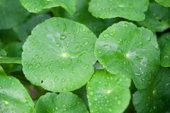 Asiatic Pennywort in traditional Stock Images