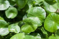 Asiatic Pennywort in traditional Royalty Free Stock Photo