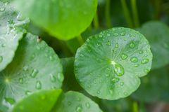 Asiatic Pennywort in traditional Royalty Free Stock Images
