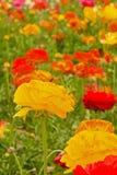 Asiatic Ranunculus Flowers royalty free stock photo