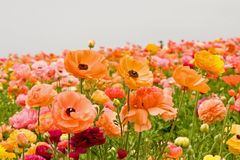 Asiatic Ranunculus Flowers Royalty Free Stock Images