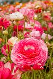 Asiatic Ranunculus Flowers Royalty Free Stock Photo
