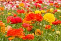Asiatic Ranunculus Flowers Stock Photography