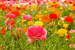 Asiatic Ranunculus Flowers Stock Image