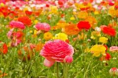 Asiatic Ranunculus Flowers Stock Image