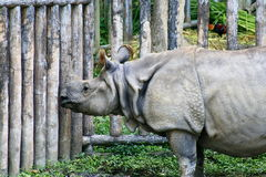 Asiatic rhinoceros, Thailand Stock Photography