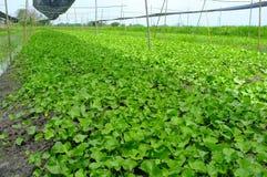 Asiatic seedlings Royalty Free Stock Image