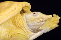 Asiatic softshell turtle, Amyda cartilaginea, albino. The Asiatic softshell turtle, Amyda cartilaginea, is eaten across Southeast Asia and China. Albino Stock Image
