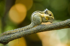 Asiatic striped squirrel Stock Photos