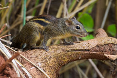 Asiatic striped squirrel Stock Images