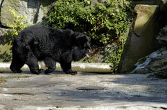 Asiatic(Ursus thibetanus) bear. Asiatic (Ursus thibetanus) black bear in Zoo. Kaliningrad, Russia Royalty Free Stock Images