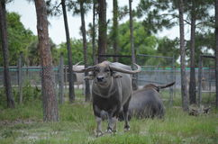 Asiatic water buffalo Royalty Free Stock Photos