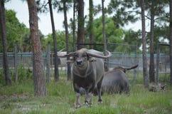 Asiatic water buffalo. (bubalus arnee) looking Royalty Free Stock Photos