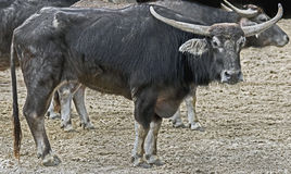 Asiatic water buffalo 2 Royalty Free Stock Photos