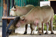 Asiatic watter buffalos Stock Images