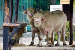 Asiatic watter buffalos Stock Photography