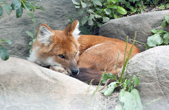 Asiatic Wild Dog Stock Photos