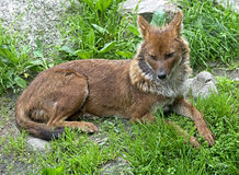 Asiatic wild dog 1 Royalty Free Stock Photo