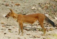 Asiatic wild dog Stock Images