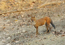 Asiatic wild dog Royalty Free Stock Photography