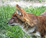 Asiatic wild dog 4 Royalty Free Stock Image