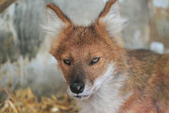 Asiatic wild dog Stock Photo