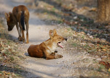 Asiatic wild dogs Royalty Free Stock Photography