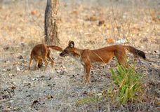 Asiatic wild dogs Stock Image