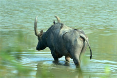 Asiatic wild water buffalo crossing lake. Endangered- Wild water buffalo-Large bovine Asiatic buffalo-Scientific name is  Bubalus arnee- crossing lake- two mynas Royalty Free Stock Photo