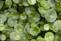 Asiatica Centella. Royalty-vrije Stock Fotografie
