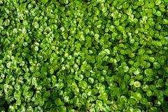 Asiatica Centella Royalty-vrije Stock Foto