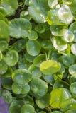 Asiatica Centella Arkivbild