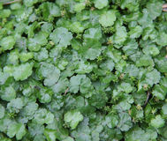 Asiatica, centella herbs leaf Stock Photos