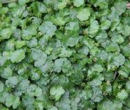 Asiatica, centella herbs leaf. Texture Stock Photos