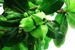 Asiatica fruit surrounded by leaves. Native green tree fruit asiatica in the south part of the philippines Royalty Free Stock Photo