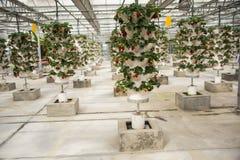 Asiatico Cina, Pechino, ¼ ŒGreenhouse che pianta, fragola di Carnivalï di agricoltura Fotografia Stock