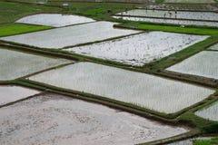 Asiatico del giacimento del riso Fotografie Stock