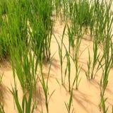 Asiatico del giacimento del riso Immagine Stock Libera da Diritti