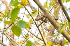 Asiatico femminile Koel che si appollaia sull'albero delle pagode fotografie stock