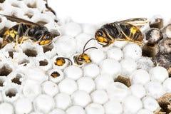 c777381925 Asiatico vivo del bambino e calabroni morti nella macro alveolata del nido  nel fondo bianco fotografia