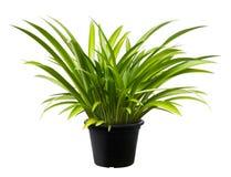 Asiaticum de Crinum, naturaleza fresca de la hoja de la planta verde del árbol Imagen de archivo libre de regalías