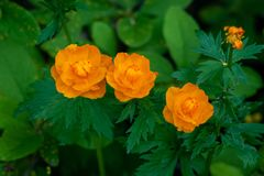 Asiaticus orange lumineux de Trollius de boule-fleur siberia photographie stock libre de droits