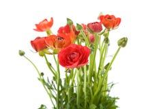 Asiaticus rosso del Ranunculus Fotografia Stock Libera da Diritti