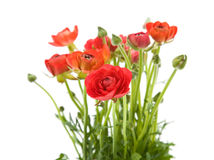 Asiaticus rouge de Ranunculus Photo libre de droits