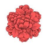 Asiaticus Trollius цветет, рамка Globeflower или Kupavna круглая, вектор букета изолированная на белой предпосылке, лютике Стоковое Изображение