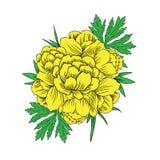 Asiaticus Trollius цветет, рамка Globeflower или Kupavna круглая, вектор букета изолированная на белой предпосылке, лютике Иллюстрация штока