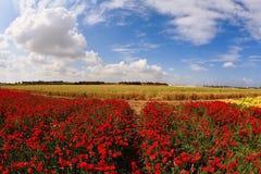 Asiaticusen för blomningsmörblommaRanunculus Royaltyfri Foto