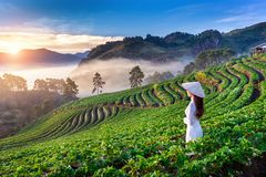 Asiatin, die Vietnam-Kultur traditionell im Erdbeergarten auf Doi Ang Khang, Chiang Mai, Thailand trägt stockbild